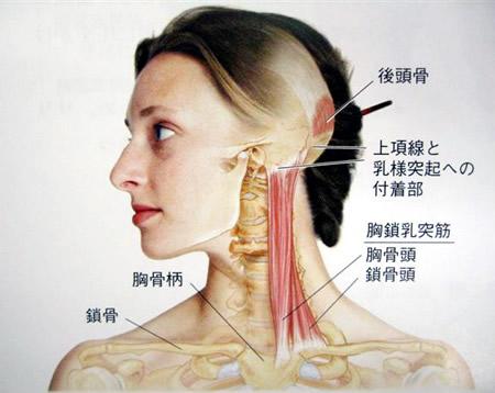 耳の下から鎖骨の中心側へ伸びています : 【今すぐ改善】虫歯 ...