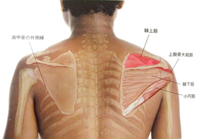 肩の筋肉の図