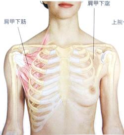 肩甲下筋の図